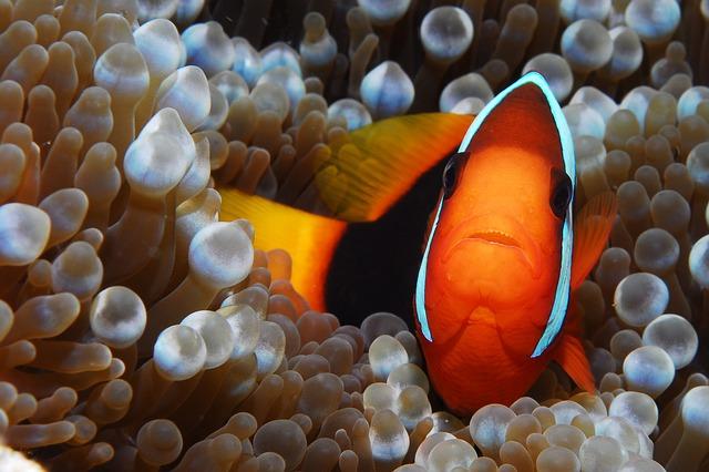 rybka Nemo