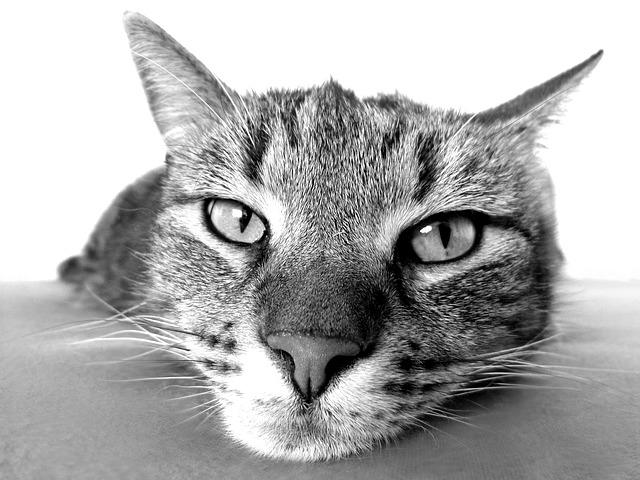 hlava kočky