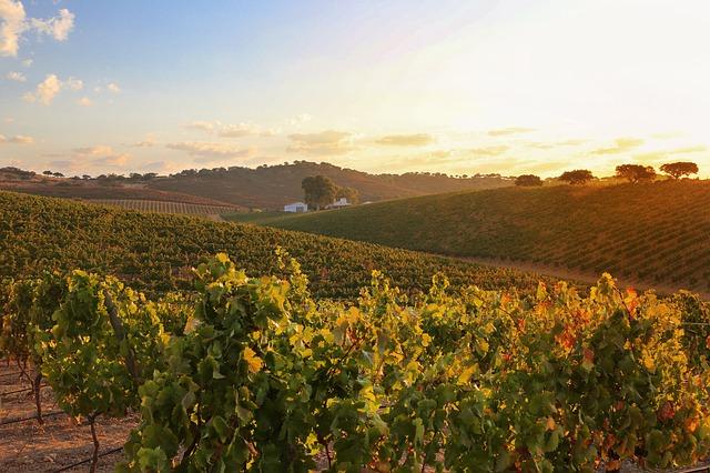 vinice a západ slunce