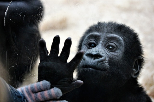 opice za sklem